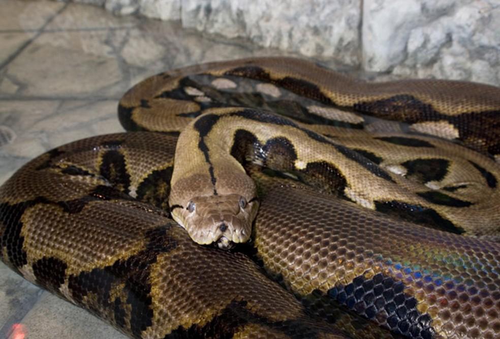 Píton que vive em zoo de Columbus, nos EUA (Foto: AP/Arquivo)