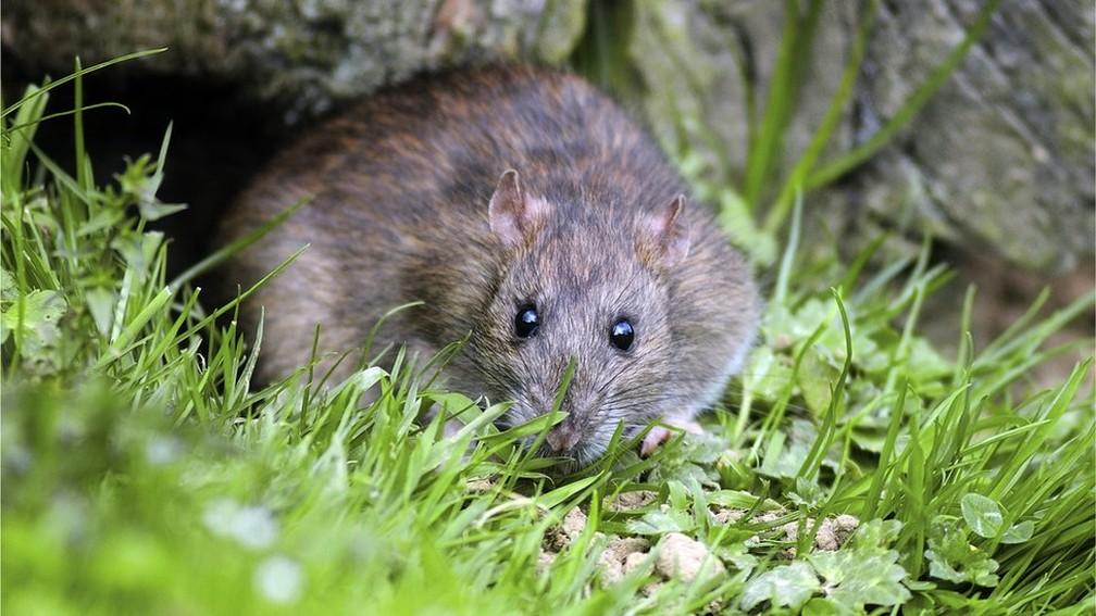 Animais como os ratos são beneficiados pela ação humana — Foto: SPL/BBC