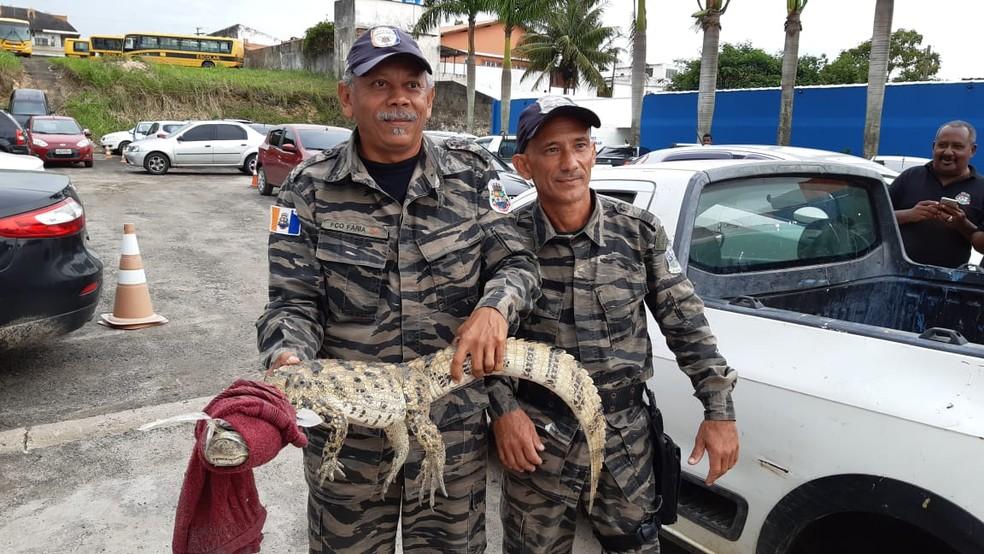 Filhote de jacaré resgatado em Iguaba Grande, RJ, será solto em reserva ambiental de Silva Jardim — Foto: Divulgação/Ascom Iguaba Grande