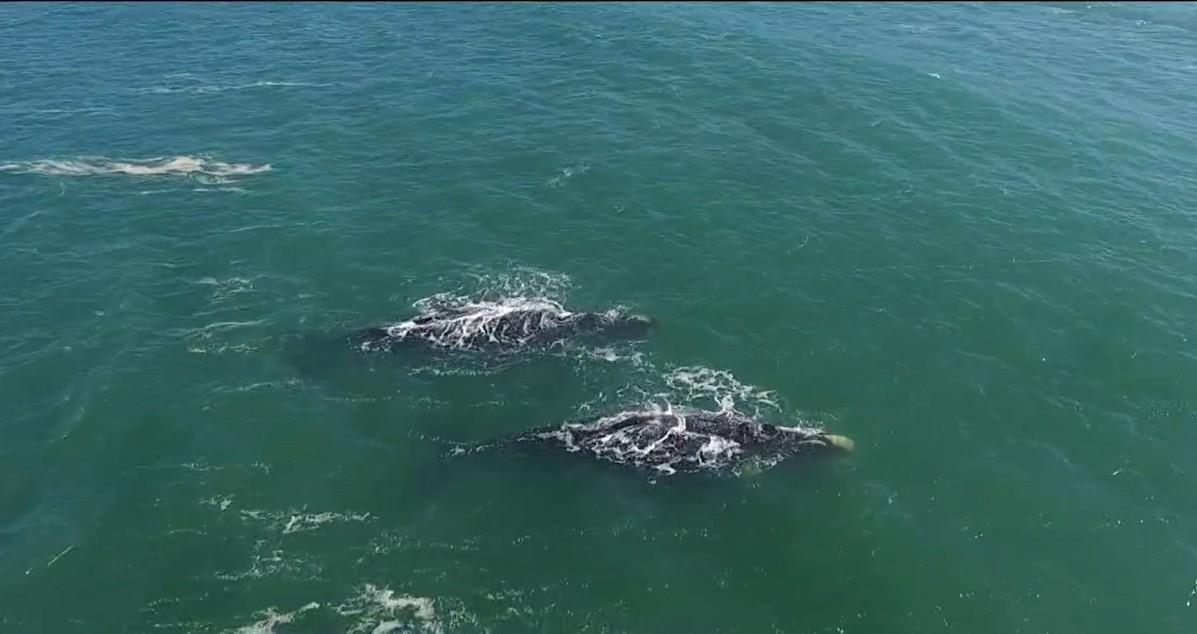 Duas baleias-franca adultas são flagradas se deslocando juntas em praia da Grande Florianópolis; FOTOS e VÍDEO