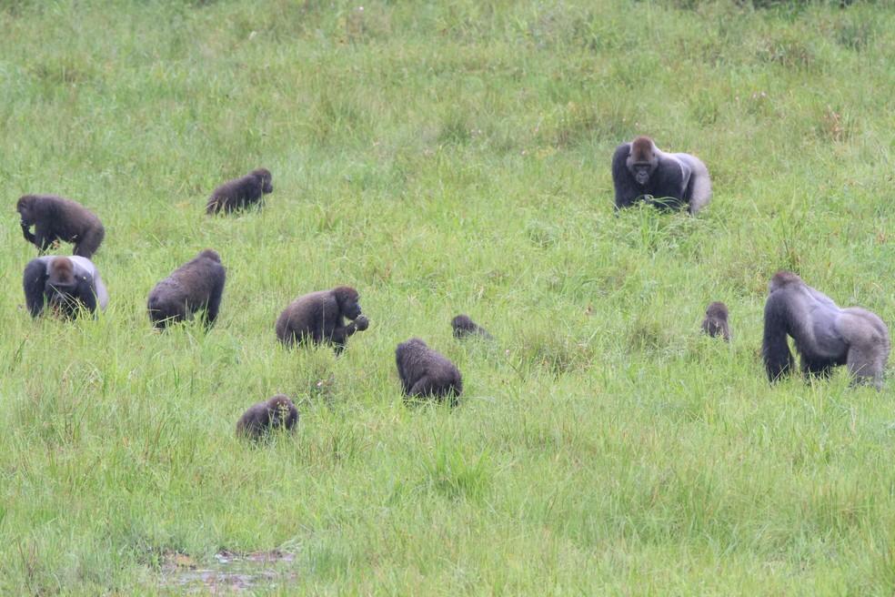 Três grupos de gorilas se relacionam pacificamente enquanto se alimentam no Parque Nacional de Nouabale-Ndoki, na República do Congo — Foto: Foto: Wildlife Conservation Society