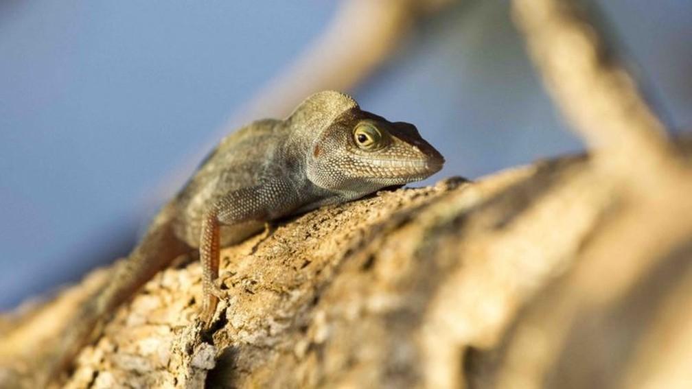 Os lagartos da ilha, criticamente ameaçados de extinção, estão presentes agora em abundância, após o desaparecimento dos ratos — Foto: Geofrey Giller via BBC