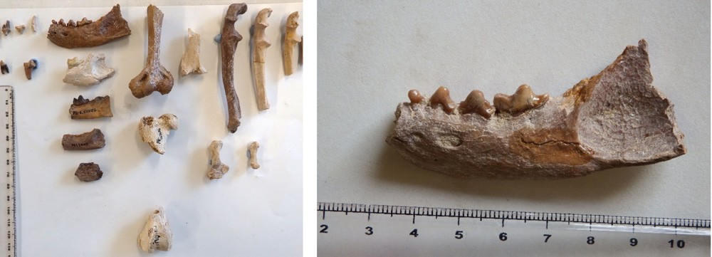 Também foram encontrados fósseis de Langebaanweg , um parente menor do ratel, mas tão perigoso quanto (Foto: Alberto Valenciano)