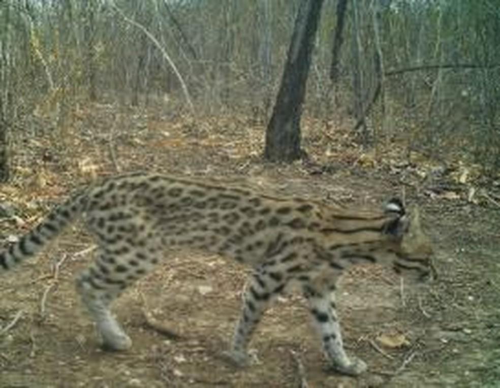 Imagem do gato-do-mato-pintado: espécie ameaçada de extinção pode ser mais protegida — Foto: Divulgação/Projeto Felinos da Furna Feia
