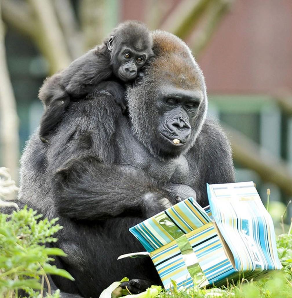 O bebê gorila Kukena observa do ombro de sua mãe, Salomé, os presentes com comida dados pelo Zoológico de Bristol por conta do aniversário de um ano do filhote. Os presentes foram dados pelo zoo britânico na véspera (Foto: Ben Birchall/PA via AP)