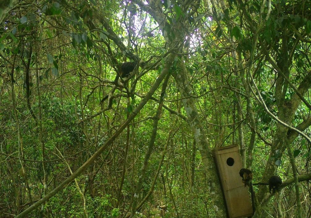 Ocos artificiais são instalados no alto das árvores para simular os ocos naturais que esses macacos usam pra se abrigar durante a noite — Foto: Fernanda Abra