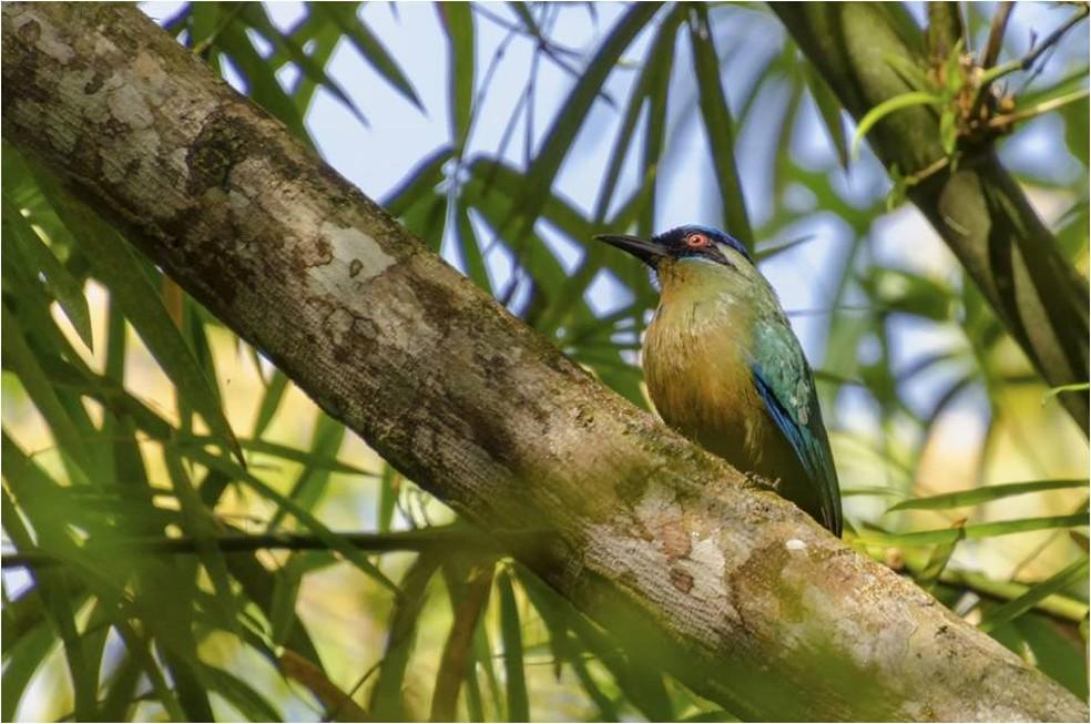 Udu-de-coroa-azul é ave difícil de ser avistada pois permanece a maior parte do tempo em silêncio (Foto: Alexandre Carvalho/VC no TG)