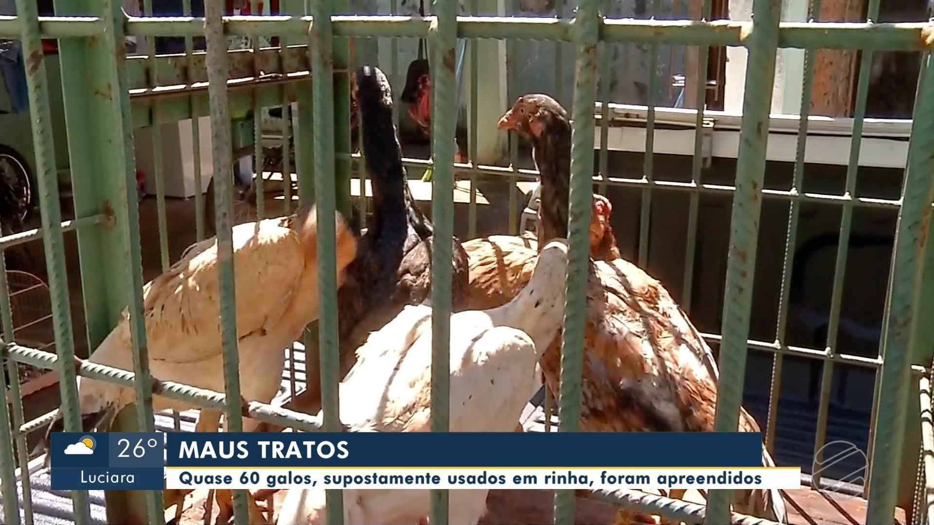 Galos de rinha são apreendidos e suspeito é preso em Tangará da Serra (MT)