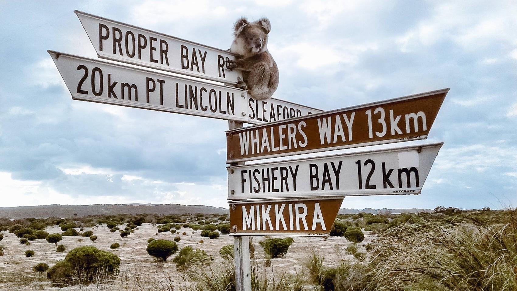 Coala sobe em placas para 'saudar' turistas na Austrália