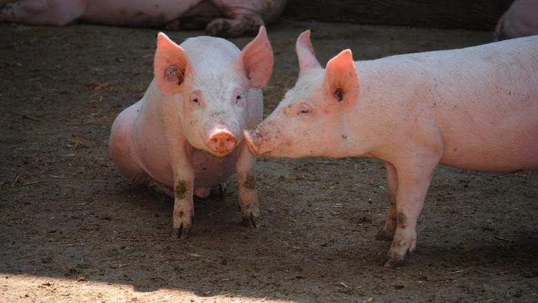 porco-leitão-suino-suíno (Foto:  )