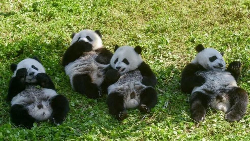 Os pandas gigantes não são mais classificados pelas autoridades chinesas como 'ameaçados de extinção', mas ainda são considerados 'vulneráveis' — Foto: Getty Images via BBC
