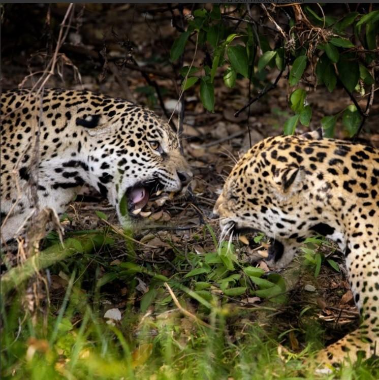 Mamãe onça enfrenta outra onça que tentou mexer com o filhote dela no Pantanal de MT e fotógrafo carioca registra a cena
