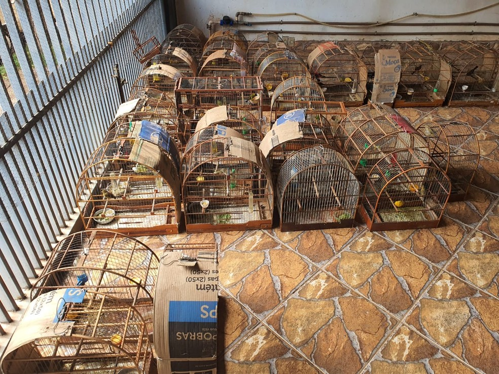 Dono da casa não tinha autorização do Ibama para criação das aves  — Foto: Polícia Ambiental/ Divulgação
