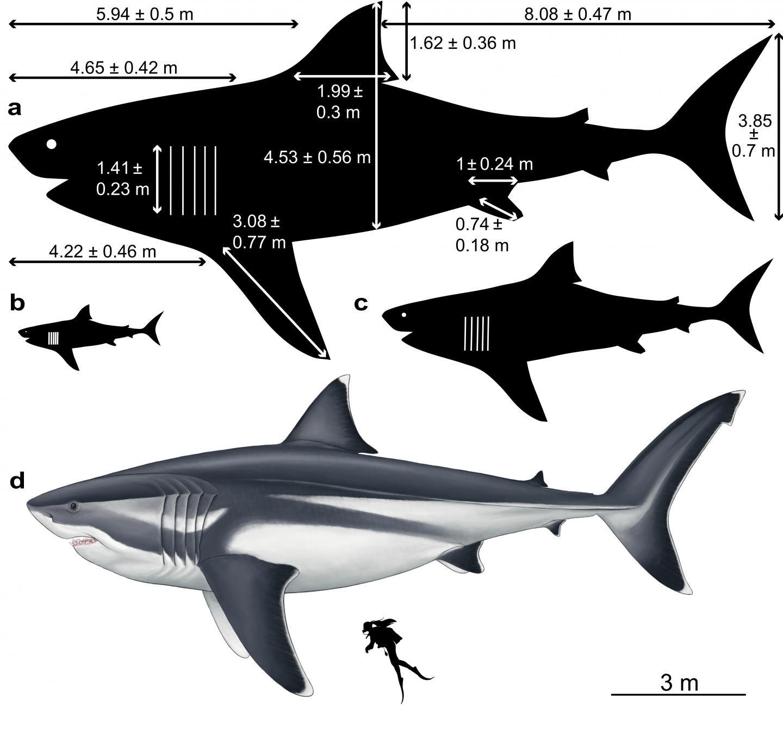 (A) um megalodon adulto; (B) filhote; (C) adolescente; (D) comparado a um humano (Foto: Oliver E. Demuth)