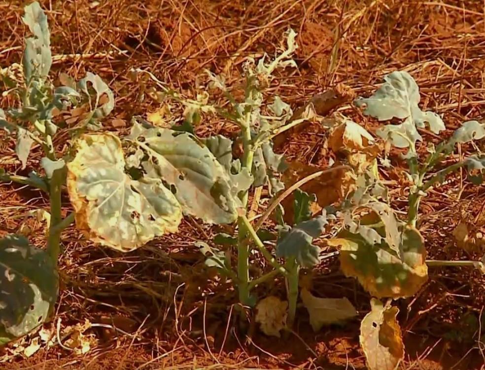 Lavouras não conseguiram se desenvolver por falta de chuvas no Noroeste do Rio Grande do Sul (Foto: Reprodução/RBS TV)