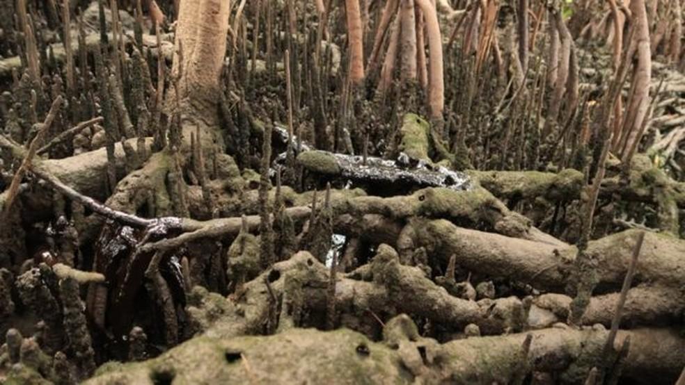 Os manguezais também promovem um filtro biológico e retêm sedimentos de rios antes de seu desague no mar; — Foto: Clemente Coelho Júnior/Divulgação