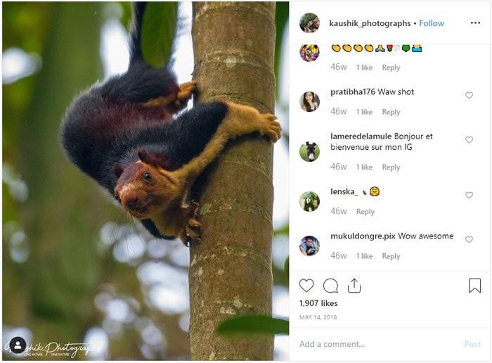 Esquilos da espécie 'Ratufa indica' medem cerca de um metro, vivem se escondendo de predadores na árvores e conseguem pular cerca de 6 metros (Foto: KaushiK Vijayan/Instagram)