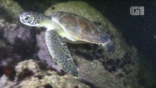 Copo e sacola encontrados no intestino de tartaruga-verde mostram os riscos de poluir a água com plástico