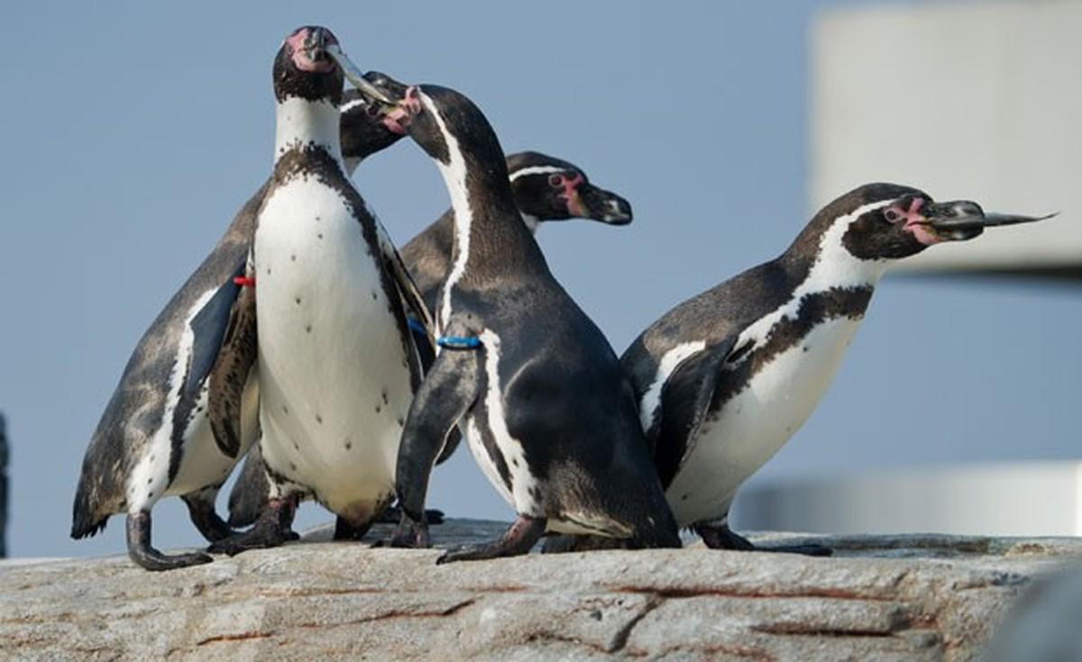 Japão chora a morte de seu pinguim apaixonado