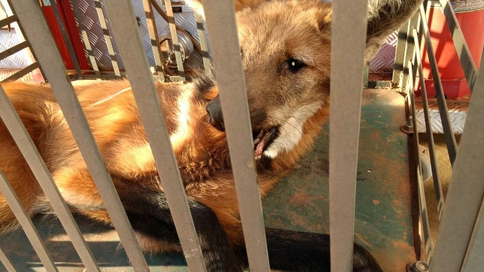 Animal foi transferido para o Zoológico de Bauru onde vai ficar em recuperação (Foto: Corpo de Bombeiros / Divulgação)