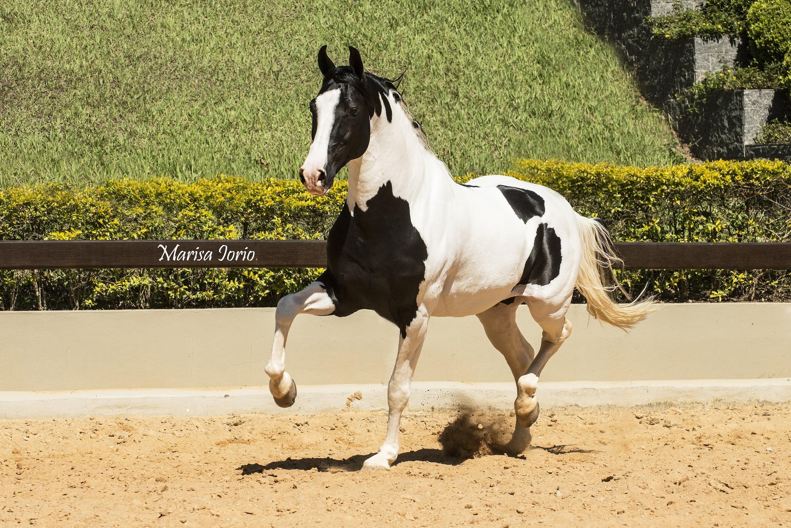 Atenção à patinha do cavalo Xingu do PEC (Foto: Divulgação)