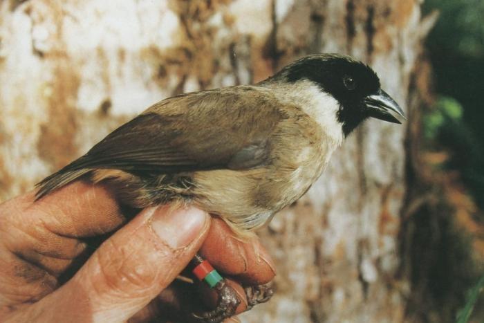 Trepadeira-de-cara-preta ou poʻo-uli (Melamprosops phaeosoma) (Foto: Paul E. Baker/Wikimedia Commons)