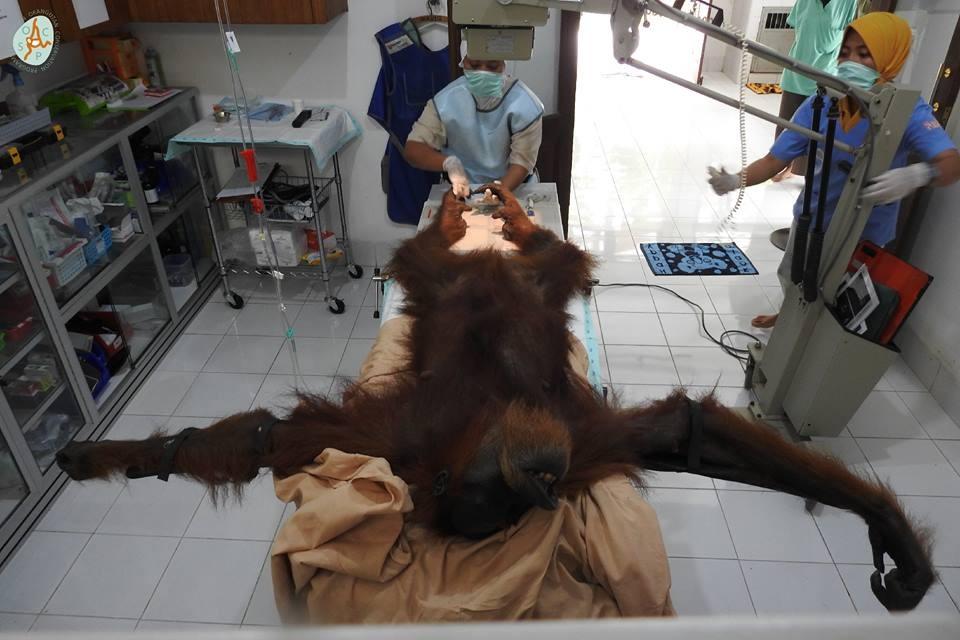 Orangotango passa por cirurgia após levar 74 tiros (Foto: Facebook / Programa de Conservação do Orangotango de Sumatra )