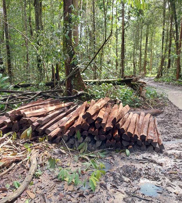 Roubos de madeira na Embrapa Amazônia somam mais de 15 mil árvores