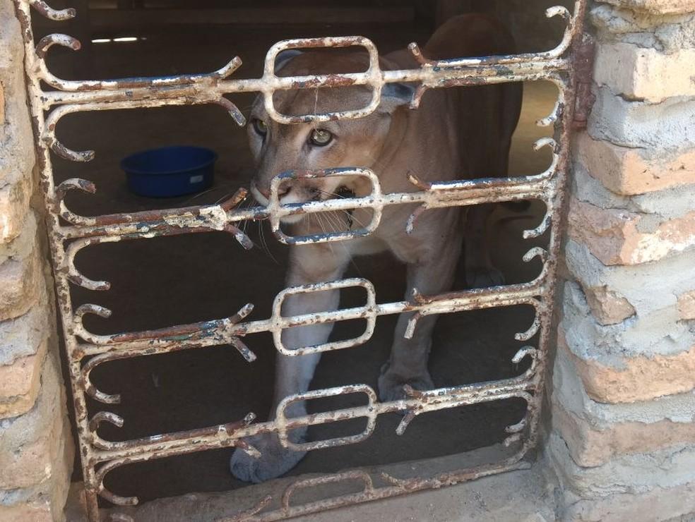 Onça encontrada em cativeiro teve as presas arrancadas. (Foto: Divulgação/ Polícia Civil)