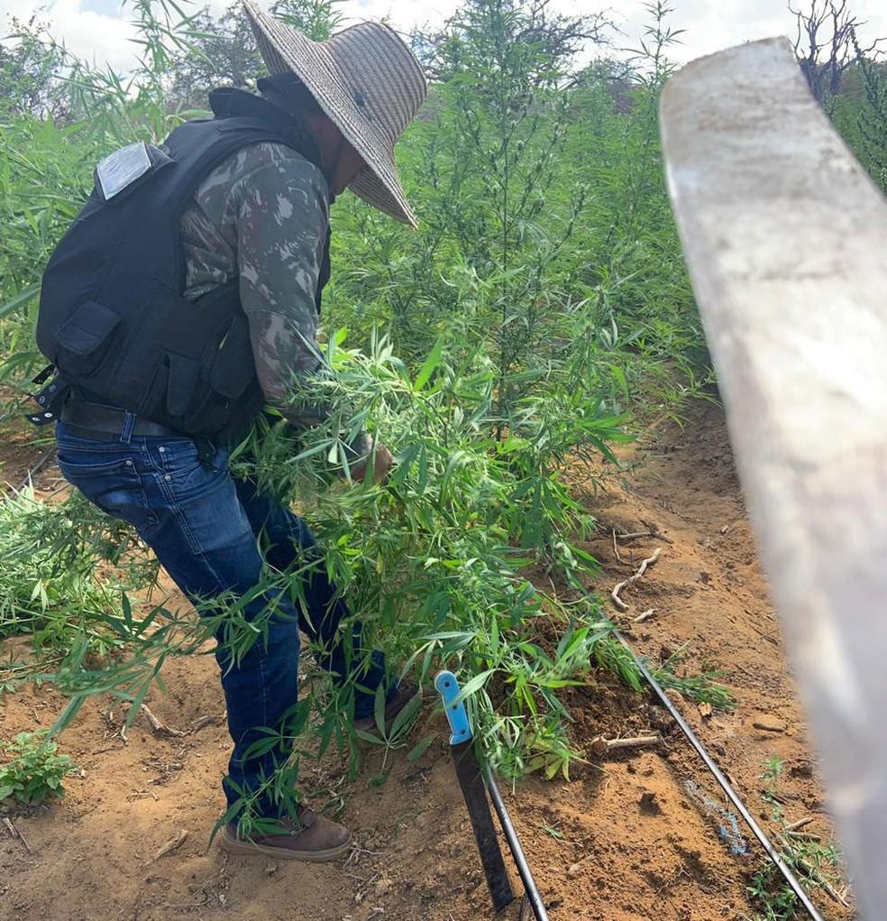 Plantação com 120 mil pés de maconha é localizada durante operação na Bahia — Foto: Divulgação/Polícia Civil