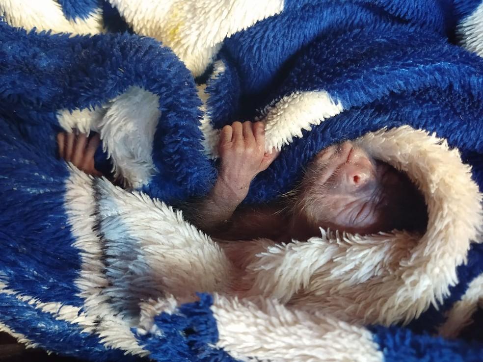 Macaco apreendido com o casal em Bauru estava enrolado em um cobertor — Foto: Polícia Rodoviária / Divulgação
