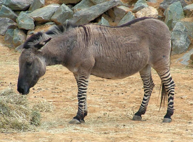 Espécime de zebroide (Foto: Wikimedia)