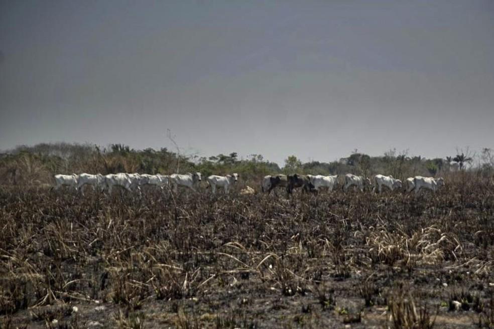 Área desmatada em São Félix do Xingu,no Pará, ao fundo é possível observar gado na área queimada. — Foto: Kleberson Santos/Agência Pará