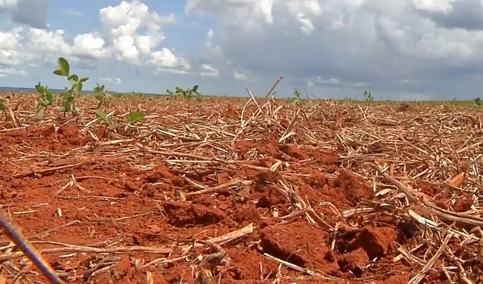 Crotalária prepara o solo para semeadura da soja, em setembro â?? Foto: Reprodução/TVCA