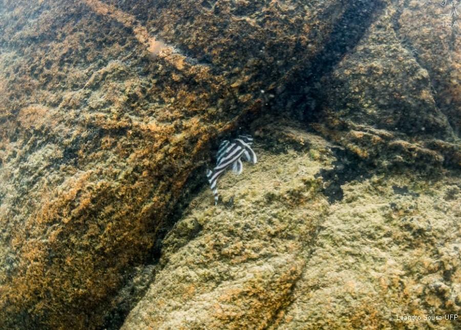 Zebrinha, uma das espécies ameaçadas.  (Foto: Leandro Sousa / UFP)