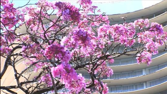 Ipês florescem e enchem Belo Horizonte de beleza