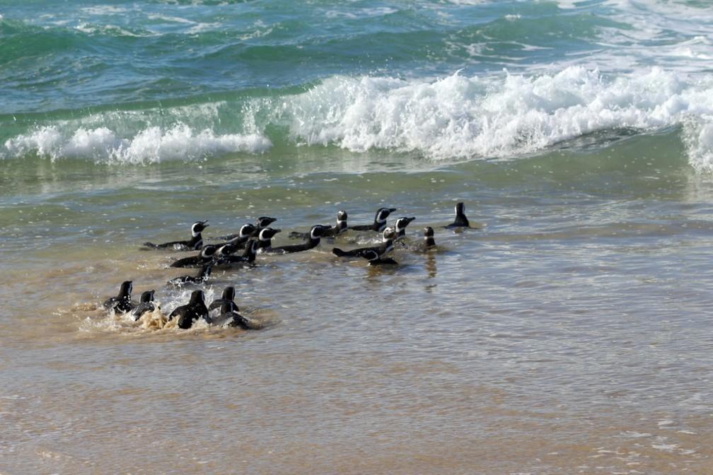 Grupo de pinguins-de-Magalhães foi liberado após processo de muda de penas em Santa Catarina — Foto: R3 Animal/Divulgação