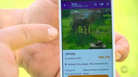Dono de vaca furtada recupera animal após descobrir anúncio de venda na internet