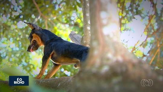 Cachorro que sobe em árvores surpreende moradores, em Bela Vista de Goiás