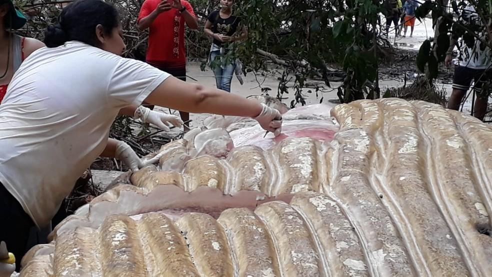 Baleia Jubarte encontrada em mata do Marajó não poderá ser removida — Foto: Ascom/Semma