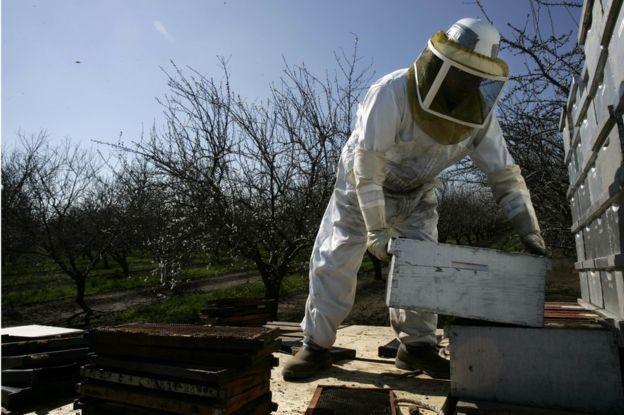 As abelhas têm um papel central na indústria amendoeira da Califórnia (Foto: Getty Images via BBC News)