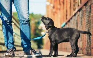 5 raças de cães ideais para pastoreio e guarda