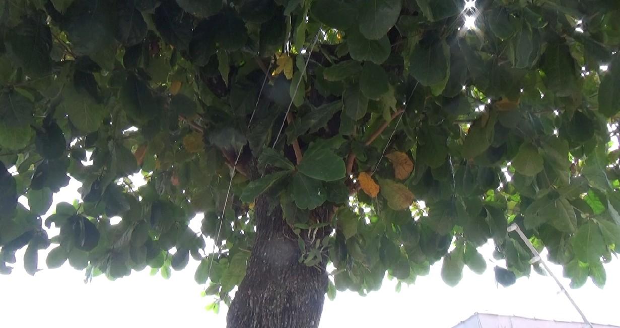 Presença de morcegos em árvore provoca série de reclamações em bairro de Campinas; veja imagens