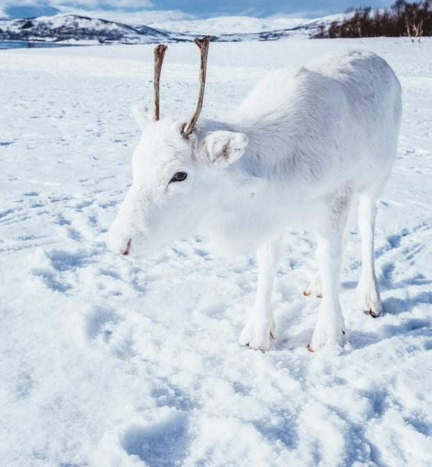 Rena branca, rara, clicada por Mads Nordsveen (Foto: Reprodução / Instagram / Mads Nordsveen)
