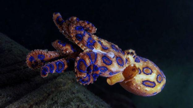 O polvo-de-anéis-azuis tem veneno letal para humanos (Foto: GETTY IMAGES/BBC News Brasil)