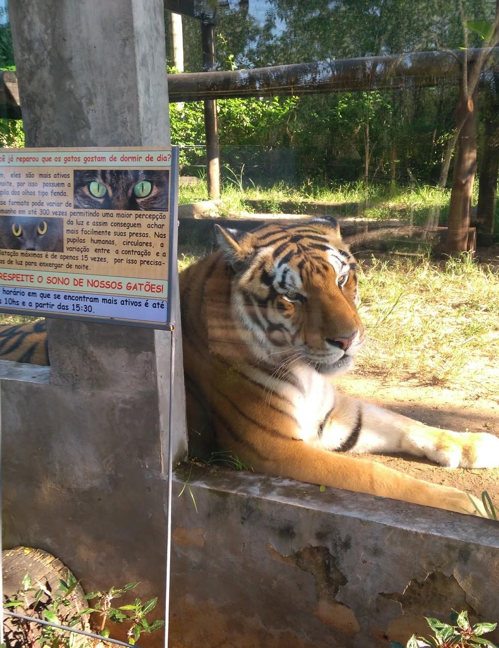 Tigre-de-bengala Chorão morre aos 19 anos e emociona equipe do Zoo de Bauru — Foto: Samantha Bittencourt/Arquivo pessoal