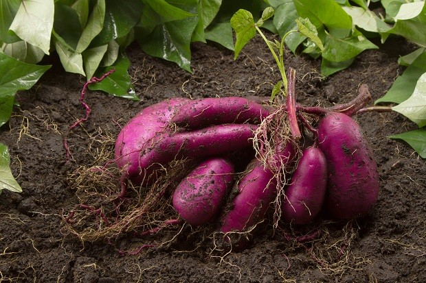 Fresh sweet potato produce on dirt harvested from biological organic farm at Japan (Foto: Getty Images/iStockphoto)
