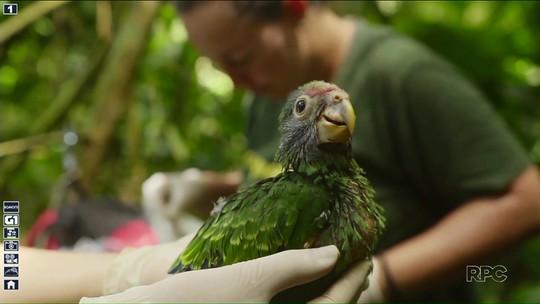 Papagaio da cara roxa ameaçado de extinção tem protetores na Mata Atlântica
