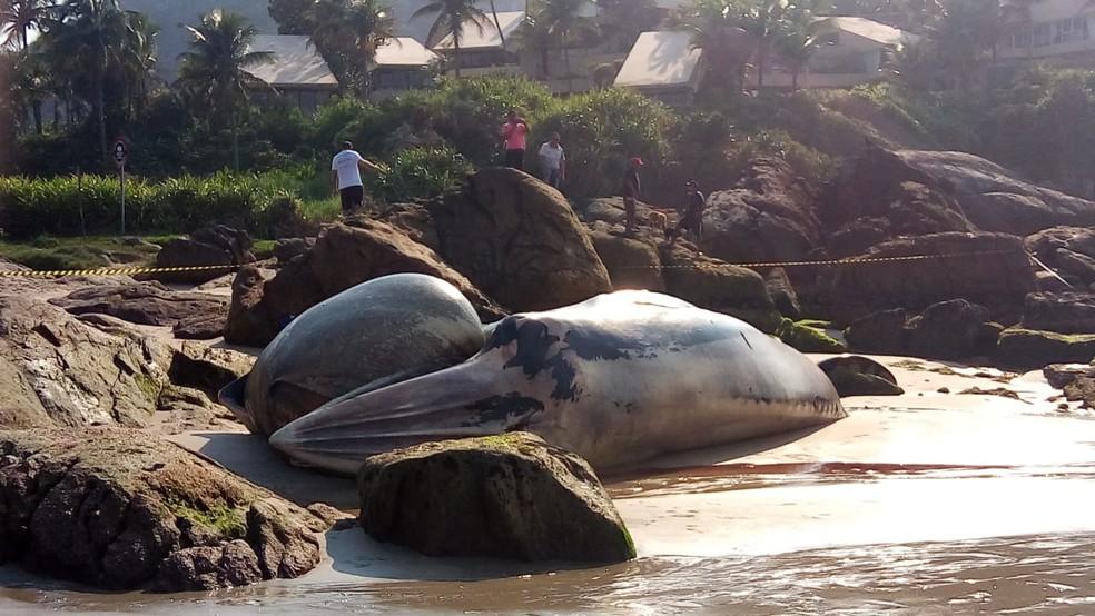 Baleia foi encontrada morta na Praia de Pernambuco, em Guarujá, SP — Foto: Arquivo Pessoal/Luiz Torres