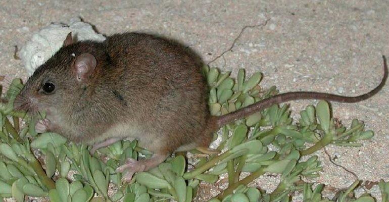 Melomys rubicola é o primeiro mamífero extinto por causa do aquecimento global (Foto: Wikimedia Commons)